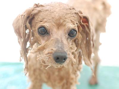 アロマセラピーを受ける犬